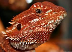 Rupert, Super Red Bearded Dragon - an album on Flickr