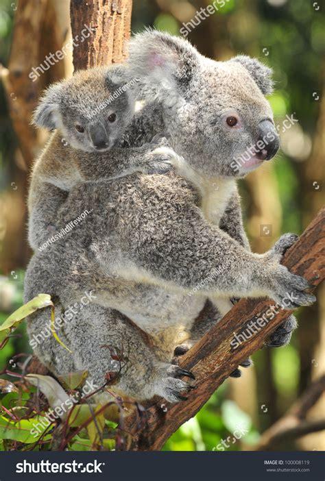 Australian Koala Bear Her Baby Joey Stock Photo 100008119 Shutterstock
