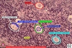 Ovary Histology Slide Labeled | www.pixshark.com - Images ...