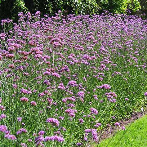 horticole ca photos de plantes et fiches descriptives d 233 taill 233 es