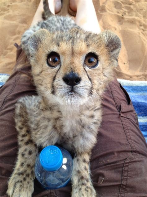 cats zoo cheetah cubs friend animals cheetahs imgur rescued overseas raises funny cub kittens adorable tierbilder comments tiere awwww animal