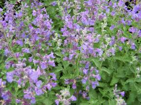 cat mint walkers catmint low gardens flowers and berries