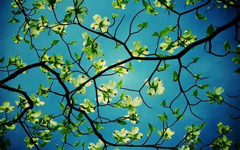 Wallpaper Free Tree Images by Dogwood Tree Desktop Hd Flower Wallpapers Dogwood Tree