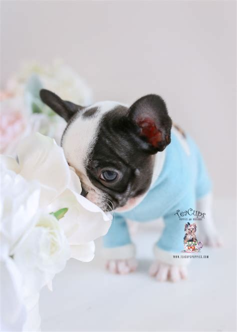 frenchie french bulldog  sale teacup puppies boutique