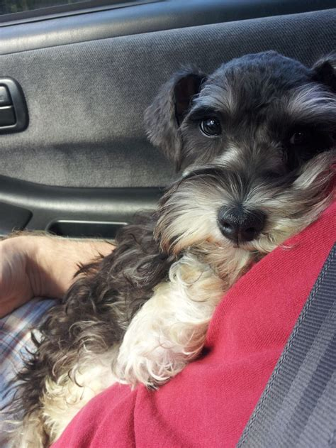 schnauzer pictures images  pinterest