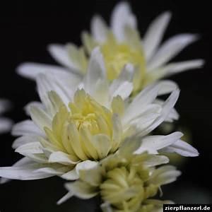 Gelbe Fensterrahmen Wieder Weiss : wei gelbe chrysanthemen ~ Markanthonyermac.com Haus und Dekorationen