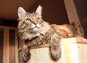 Arbre A Chat Solide : trouver l 39 arbre chat parfait pour son maine coon ~ Mglfilm.com Idées de Décoration