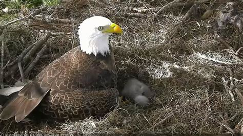 eagles and nature with chris7 northeast florida eagles