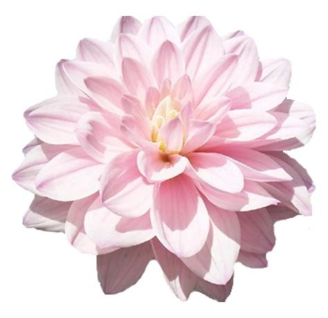 light pink flowers pink mini gerbera flower bulk fresh pink
