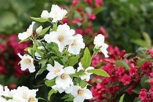 Jasmin Pflanze Pflege : pfeifenstrauch philadelphus pflege anleitung ~ Markanthonyermac.com Haus und Dekorationen