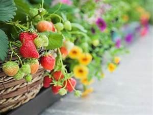 die 25 besten ideen zu erdbeeren pflanzen auf pinterest With markise balkon mit obst tapete