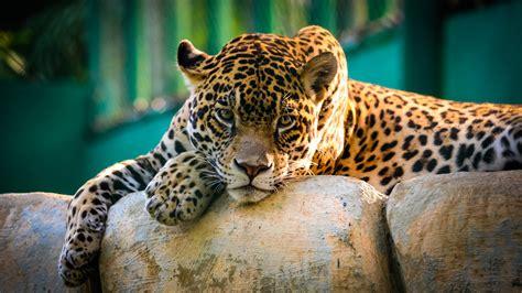 Jaguar Wallpaper 4K, Wild animal, Carnivore, Predator, Big ...