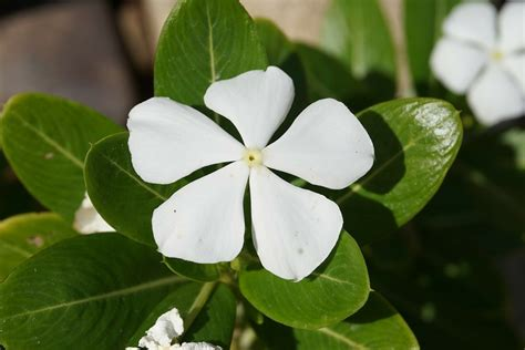 cural impatance of rosy periwinkle 25 exceptional benefits of catharanthus roseus