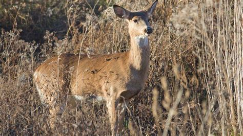 Number Of Pennsylvania Deer Infested With Chronic Wasting