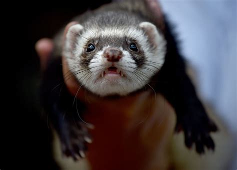 are ferrets pets pets that are illegal to keep in the us