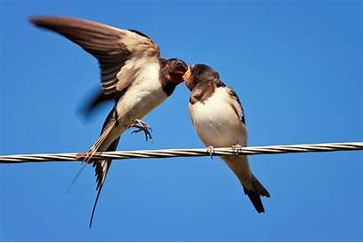 Electric Wire Swallow Birds Colored Animal Bird