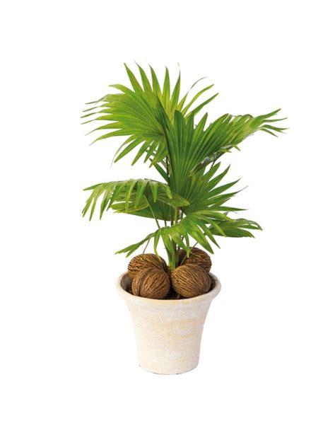 cuisiniste ville la grand entretien palmier en pot 28 images palmier chanvre en
