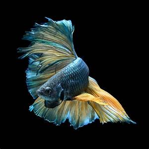 Dramatic portraits of pet fish swimming with personality for Dramatic portraits of pet fish swimming with personality