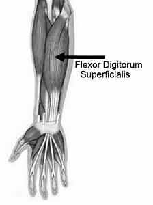 The Musculus Flexor Digitorum Superficialis Location  22   U2013 Based On