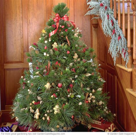 living christmas tree care guide garden gate enotes