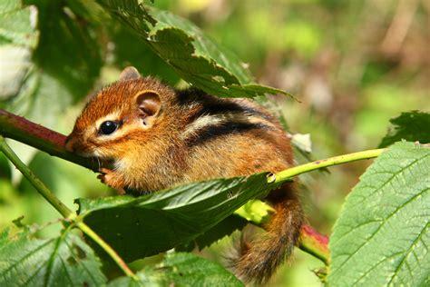Filebaby Chipmunk Hanging Fall Feeding Berry Bush Branch