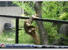 Spitze Eichhörnchen