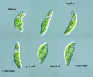 Protist Images  Euglena Clara