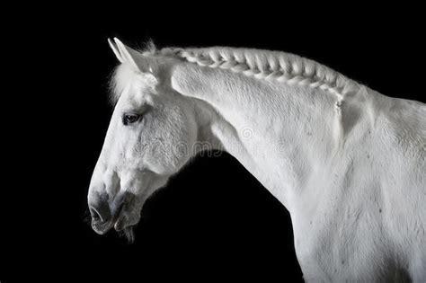 white horse  black background stock photo image