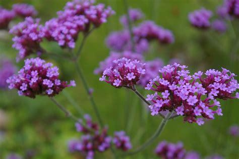 winter bloemen australie bloemen verbena violet 183 gratis foto op pixabay