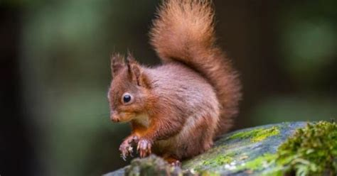native irish red squirrel returns  kilkenny city