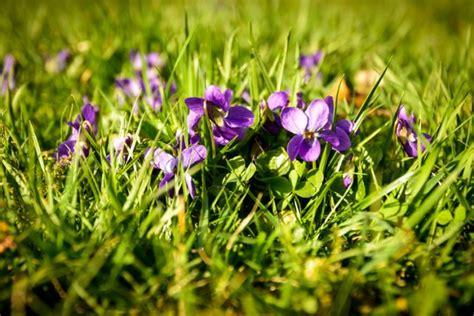 Im Rasen Loswerden by Veilchen 187 Pflanzen Pflegen Vermehren Und Mehr