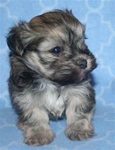 havanese puppy | Havanese | Pinterest | Puppys and ...