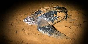 What to Do with Kids on St. Kitts and Nevis: A Sea Turtle ...