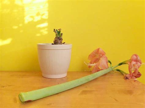wie pflege ich amaryllis nach der blüte amaryllis pflege kinderleicht meine 6 tipps parzelle94 de