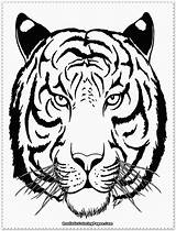 Tiger Coloring Pages Tigers Realistic Face Drawing Printable Outline Siberian Detroit Saber Tooth Baby Getdrawings Head Lily Getcolorings Lions Getcoloringpages sketch template