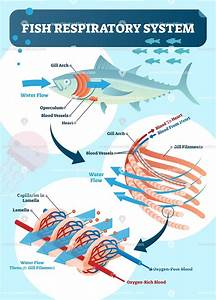 Fish Respiratory System Vector Illustration In 2020  With