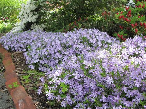 creeping flowers views from the garden how to plant creeping phlox