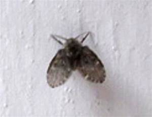 Bathroom flies archives what39s that bug for Tiny moths in bathroom