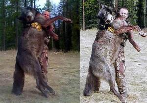 timber wolf size comparison
