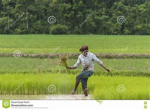 Worker in rice field editorial photography. Image of fall ...
