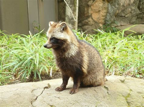raccoon dog pup  tanuki theyre native  east asia