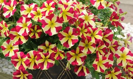 petunia amore queen  hearts groupon
