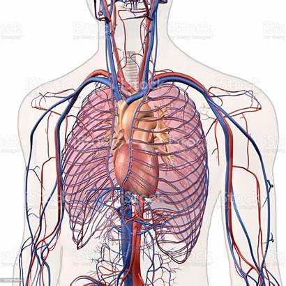 Chest Veins Anatomy Arteries Heart Lungs Human