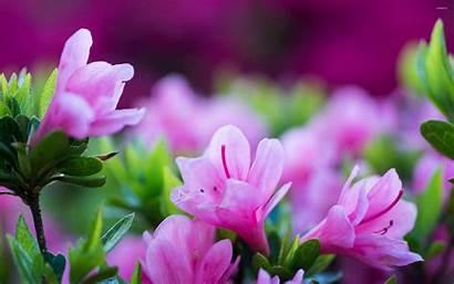 Purple Blossoms Flowers Blossom Flower Wallpapers