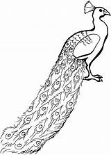 Peacock Coloring Glorious Animals sketch template