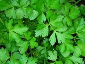 Flat Leaf (Italian) Parsley | Plants for My Gardens ...
