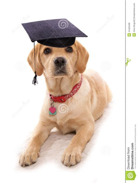puppy obiedience school dog wearing mortar board hat stock