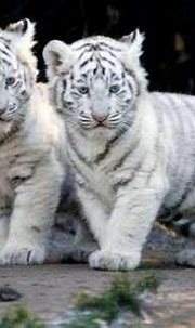 White Tiger Wallpaper for Desktop 2532 - HD Wallpaper Site ...