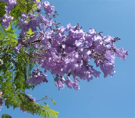 california tree with purple flowers purple flowering trees lacitypix purple flower tree in california gardening guide