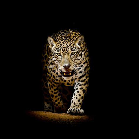 Leopard Animal Wallpaper - leopard 4k black background hd animals 4k wallpapers